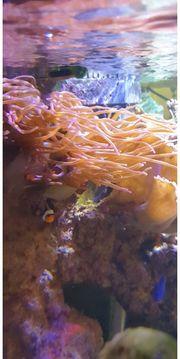 Anemone meerwasser koralle