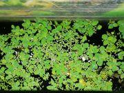 Froschbiss Wasserlinsen - aquariumpflanzen - Wasserpflanzen gegen