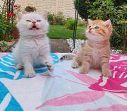 5 BKH-Kätzchen brauchen ein neues