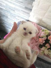 BKH Fold Kätzchen