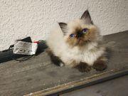 Perser Ragdoll mix Kitten kaze