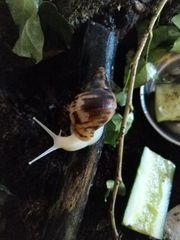 Junge Achatschnecken achatina reticulata zu