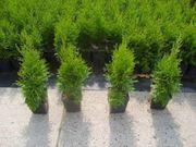 25 Stück Thuja Smaragd Lebensbaum