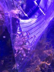 Percnon Gibbesi algenfressende krabbe meerwasser