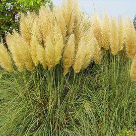 Bild 4 - Lila Samen vom Pampasgras zu - Meißen