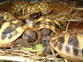Griechische Landschildkröten Nz 2020. Versand möglich.