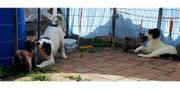Kroatische Schäferhunde HSH Tornjak abzugeben