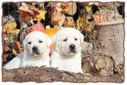 Weisse Labrador Welpen vom Thüringer