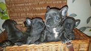 Französische Bulldogge Welpen in blau