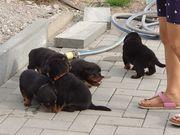 Rottweiler Welpen 5 Stück suchen
