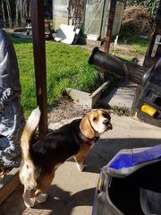 Beagle Rüde 8 Monate