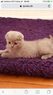 BKH-SF Kitten (