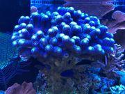 Diverse Korallen Korallenableger abzugeben