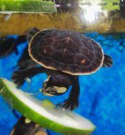 Wasserschildkröten Nachwuchs