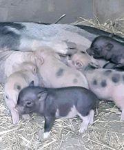 Minischweine Tea Cup Minischwein Sau