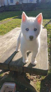 Weiße Siberian Husky Welpen