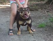 Englische bulldogge New English Bulldoge