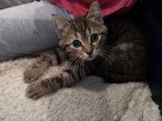 2 getigerte Babykatzen 9 Wochen