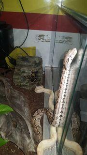 2 boa constrictor ci mit