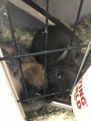 2 Kanienchen weiblich