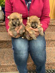 Hundewelpen Kleinspitz Spitz zu verkaufen