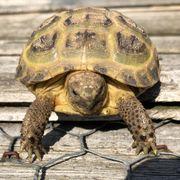 Russische Landschildkröten 2020 Nachzucht