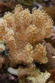 Korallenableger Meewasser Korallen
