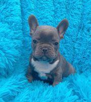 blaue französische bulldoggen welpen whatsapp