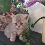 BKH Kitten silber blue mit