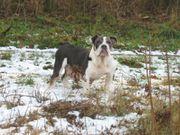 Englische Bulldogge weibliche blaue Trikolore