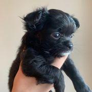 Mini Süße Chihuahua Welpen