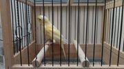 Kanarienvogel Harzer Roller Henne