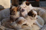 Süßer Familienhund Welpe