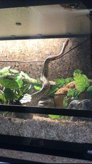 Python Regius Cinnamon Ghost