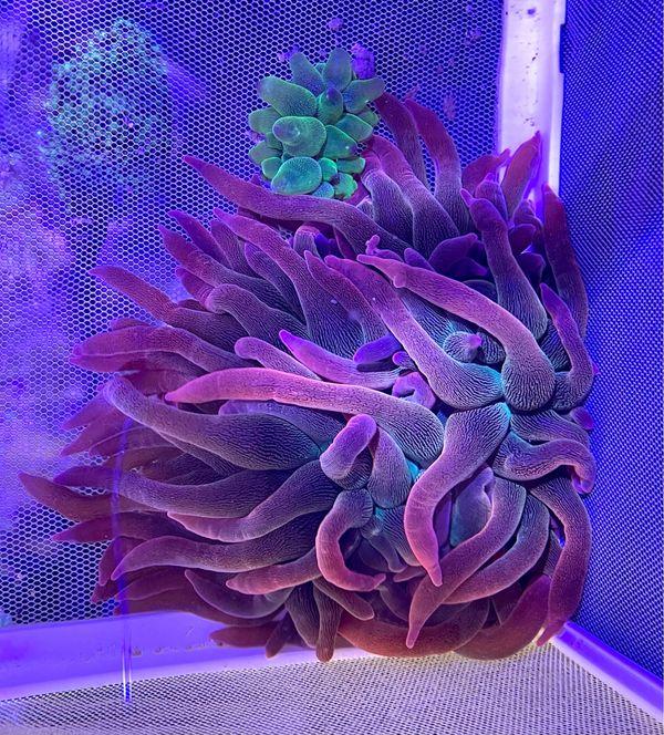 "Anemone Koralle Meerwasser Entacmaea quadricolor sunburst \""Blasenanemone Rainbow\"""