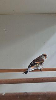 Stieglitz Mischling 100 Waldvogelgesang