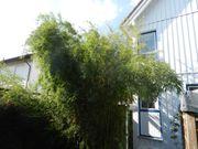 Bambus ca 6m hoch