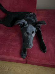 Labrador schäferhund mischling