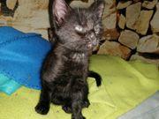 Schwarze Katze Kitten Katzen Baby