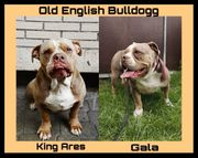 Old English Bulldog- Englische Bulldogge-OEB-Bully-Welpen