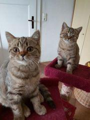 2 BKH Katze Abholbereit abzugeben