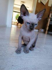 Sphynx Katze Katzen Kaufen Verkaufen Auf Quoka De
