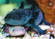 Suche Axolotl Jungtiere oder Eier