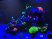 Korallen SPS Anemonen