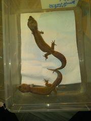 Leopard geckos nz 19
