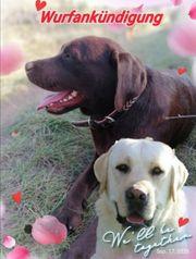 Labrador Wurfankündigung Oktober 2020