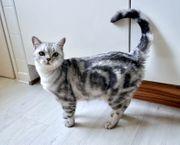 Reinrassige BKH Katze in Tabby-look
