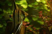 Amapa Rotrücken Skalare aus Hobbyzucht