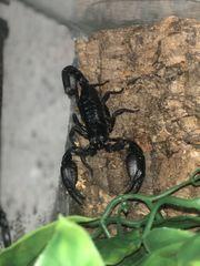Assia scorpion