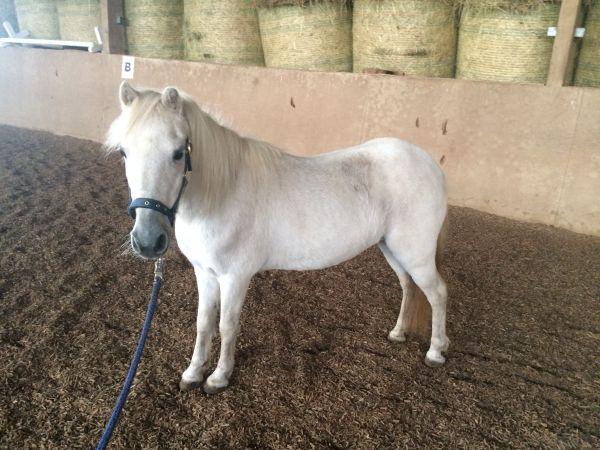pony stute zu verkaufen in schorndorf pferde kaufen und. Black Bedroom Furniture Sets. Home Design Ideas